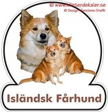 Isländsk fårhund 2