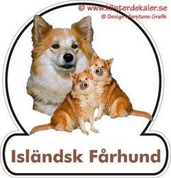 Icelandic Sheepdog 2